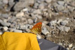Kasiermantel Schmetterling
