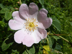 Wildrose / Hagebutte