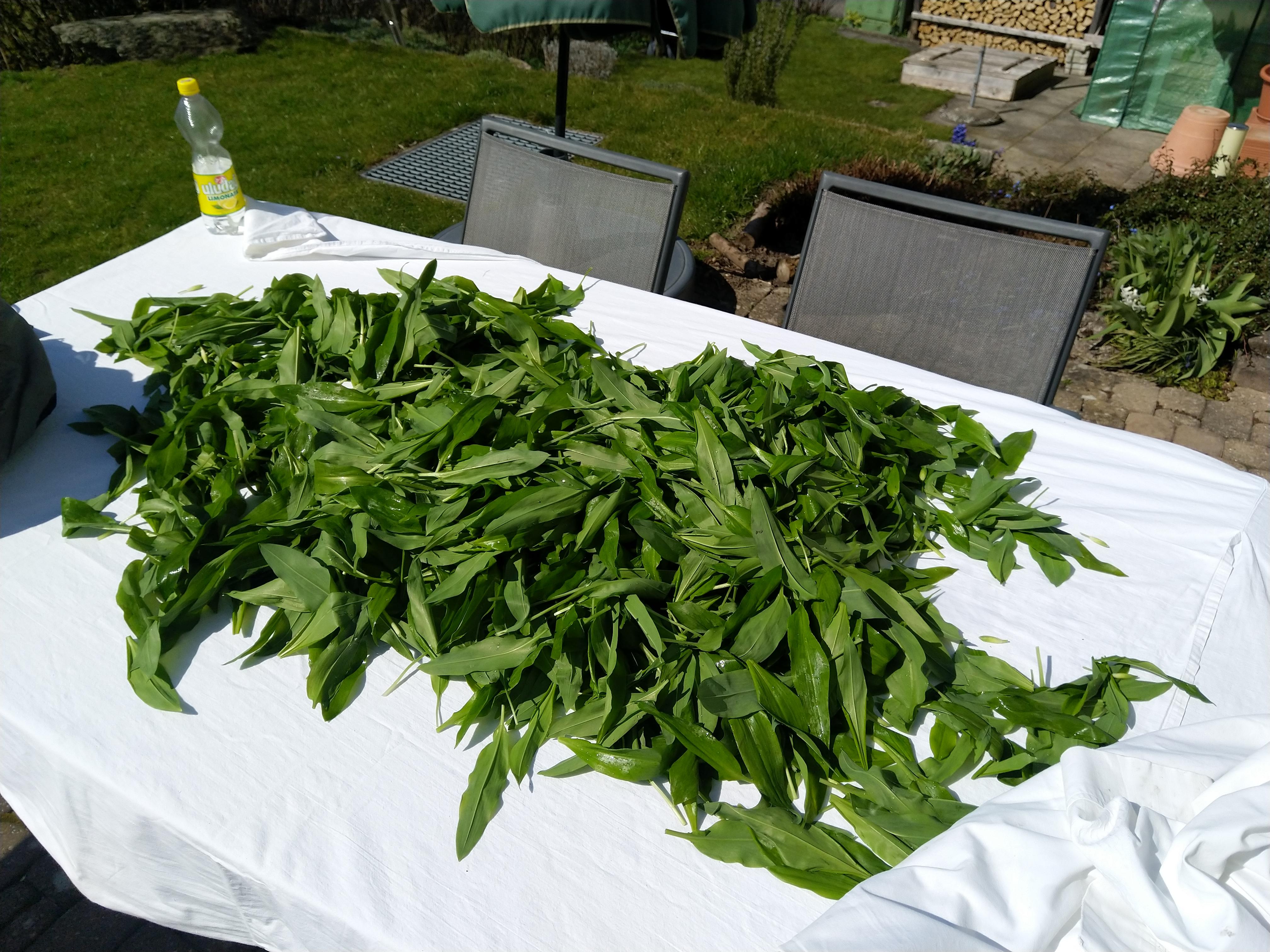 Bärlauch für die Produktion von Pesto