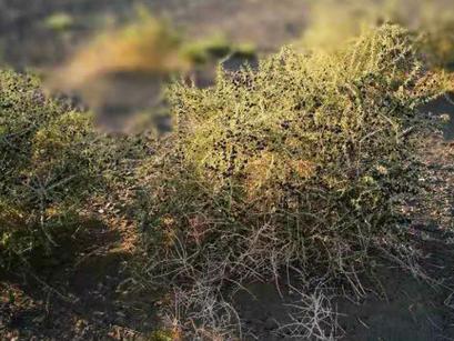 モンゴル産黒クコの実輸出