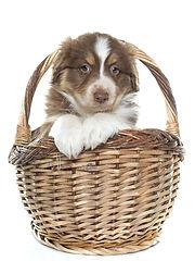 Dogs_Australian_Shepherd_White_backgroun