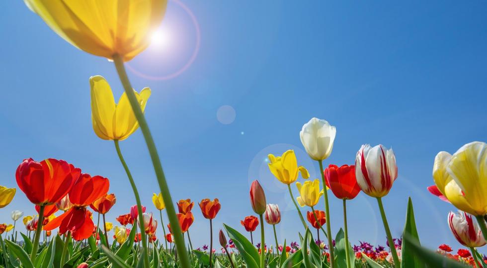 #春 色とりどりのチューリップ畑