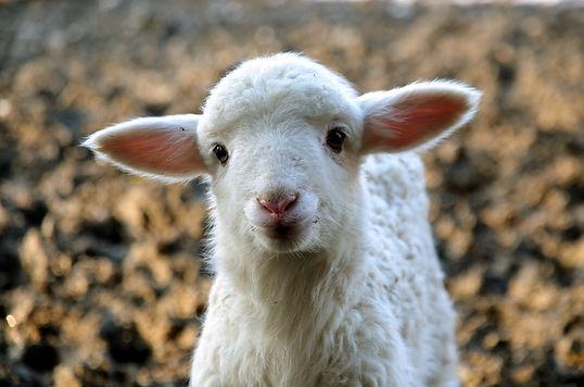 lamb-1327753_1280.jpg