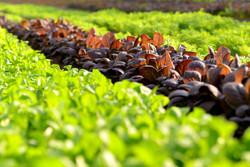 ④元気に成長する野菜
