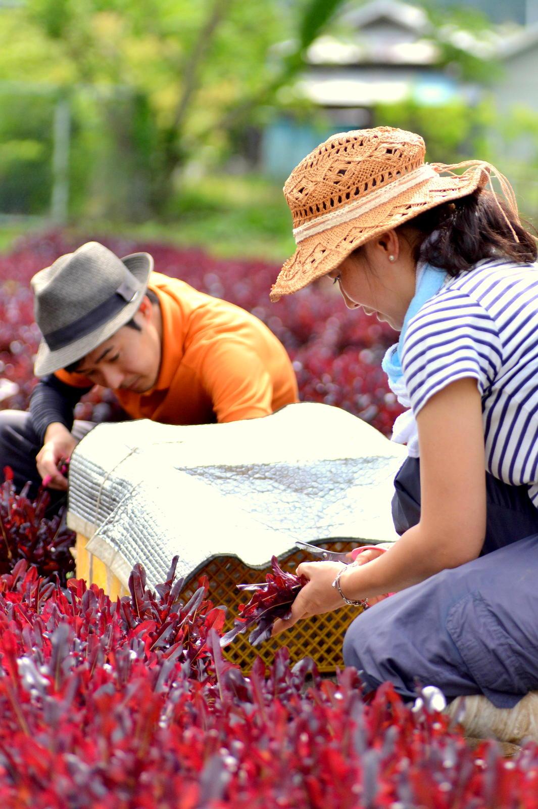 手作業での収穫