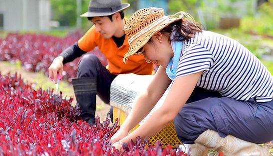 Women harvest vegetables.jpg