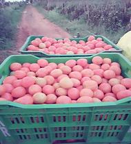 tomatoes GIZ.png