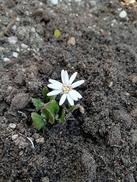 Leibnitzia nepalensis