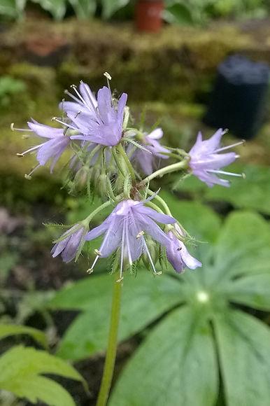 Hydrophyllum virginicum.jpg