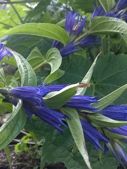 Gentiana asclepiadea