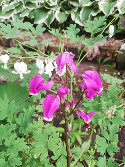 Dodecatheon pulchellum 'Red Wings'