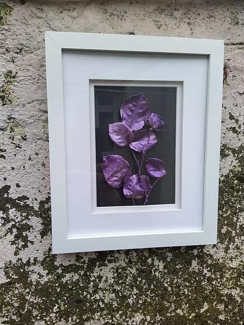 Purple rose. Framed botanical art
