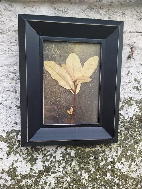 Laurel. Framed  botanical Art