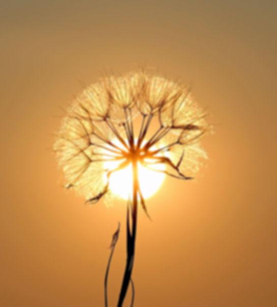 dandelion-sun-dew-water-192544.jpeg