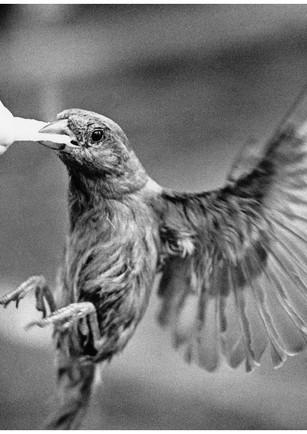 Sparrow feeding on a french fry