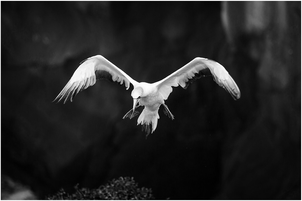 Large male gannet in flight, about to land at its nest in the colony