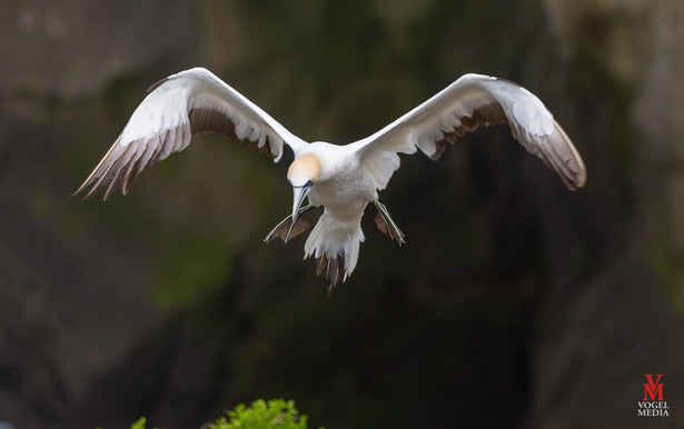 Gannet landing...