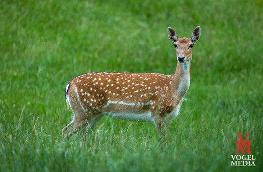Red deer on high alert...