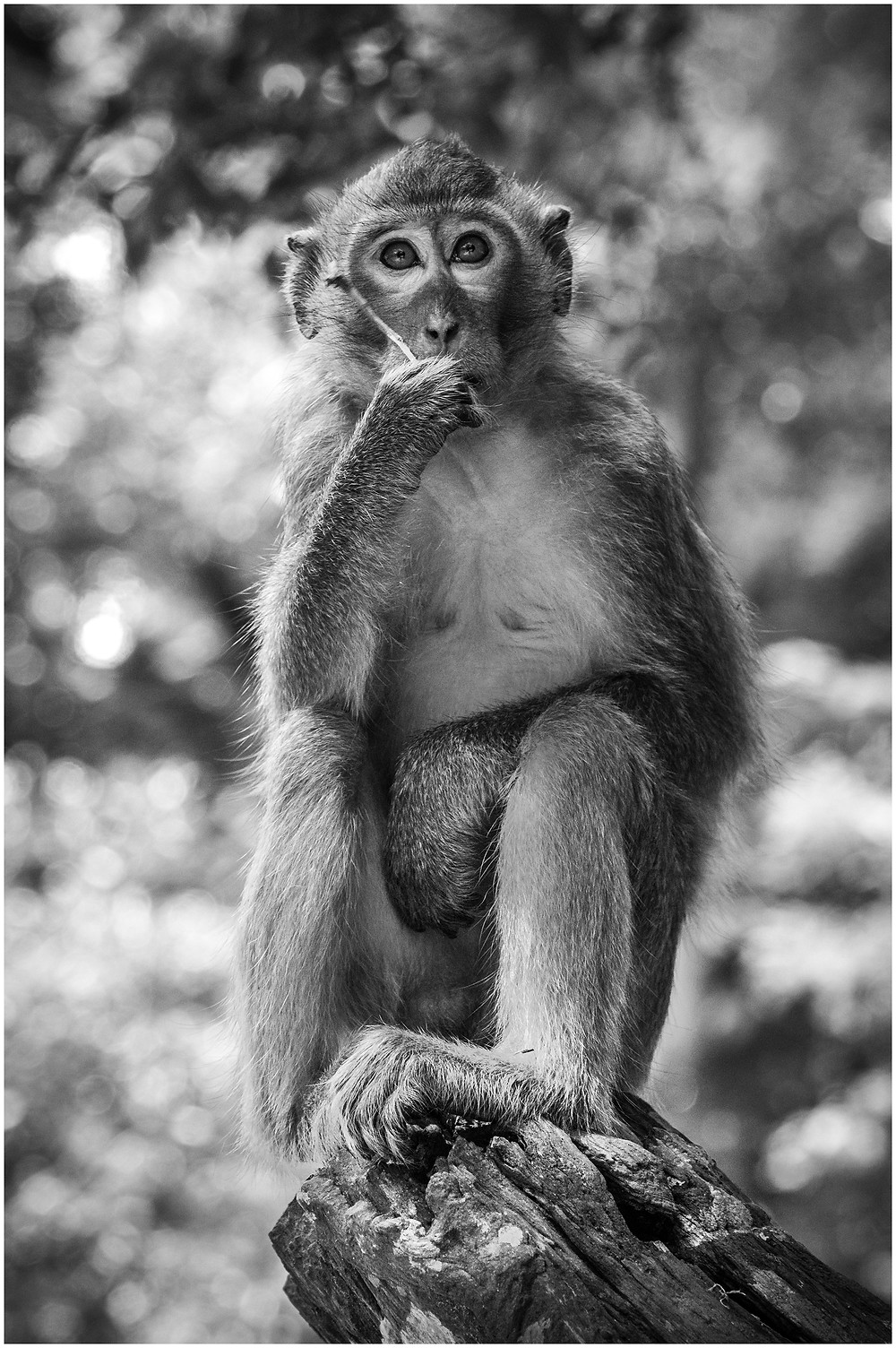 Rhesus macaque monkey sitting in a tree eating leaves in rural Cambodia