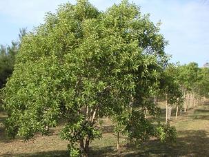 Sandalwood Australian