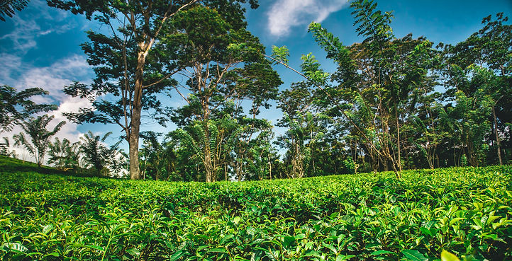 tea-plantation-surrounded-by-the-tropica