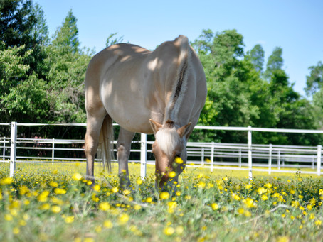 Horse Breed: Fjord