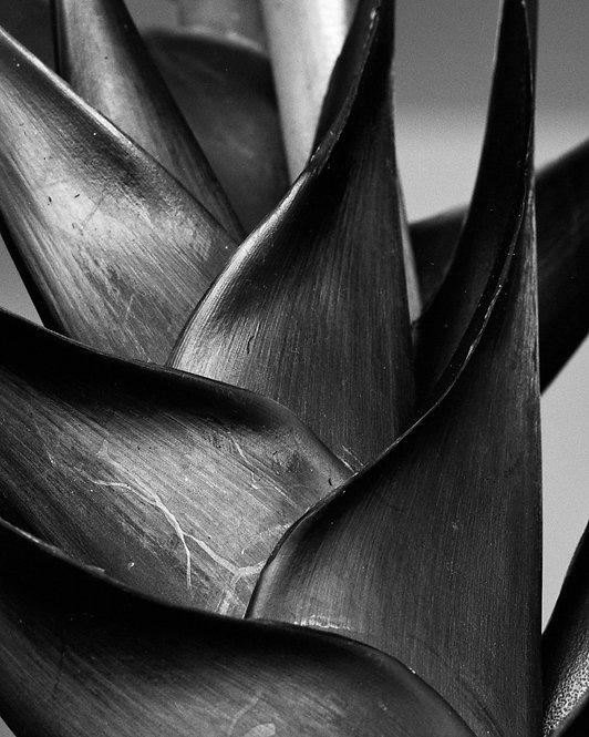 Heliconia bihai, Silver Gelatin Print 2017 Miguel Winograd