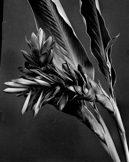 Ginger Alpinia purpurata, Miguel Winograd Silver Gelatin Print 2017