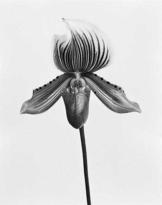 Orquídea Paphiopedilum Callosum, Silver Gelatin Print 2017 Miguel Winograd