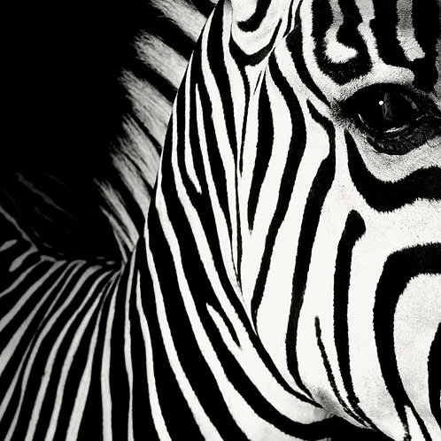 Half Angels Half Demons - Zebra #26, 2008 (B&W) Mauricio Velez