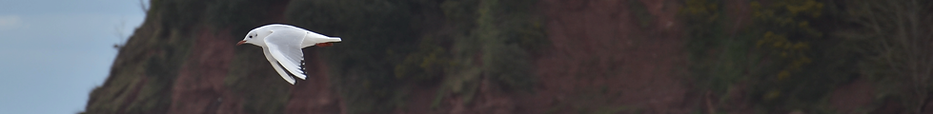 Black-Headed-Gull.png