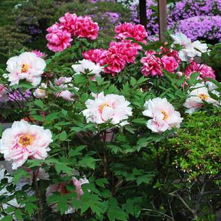 華麗に咲く牡丹