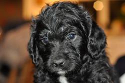 Orange Pup - Available Boy