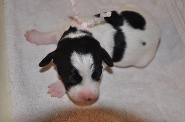 Parti Bitch Puppy - Pink Collar