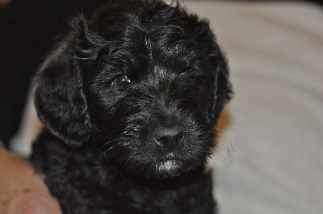 Lilac Pup - Available Boy