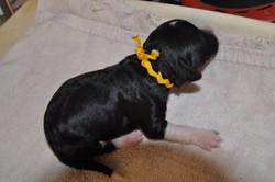 Tuxedo Male Puppy - Yellow Collar