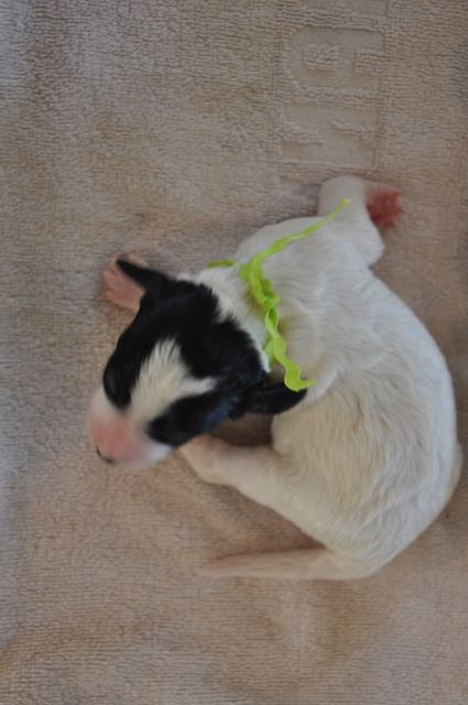 Parti Male - Lime Green Collar