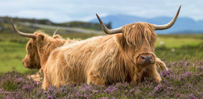 Scotland cow_edited