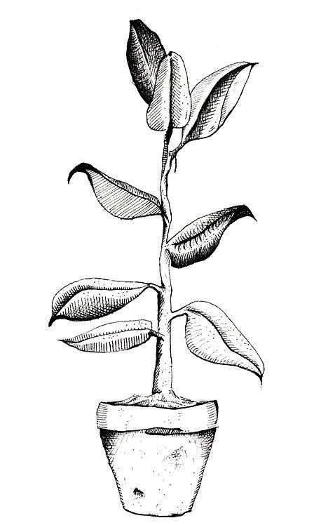 Rubber Plant A4 Print