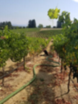 Septic Pumping in a Vineyard