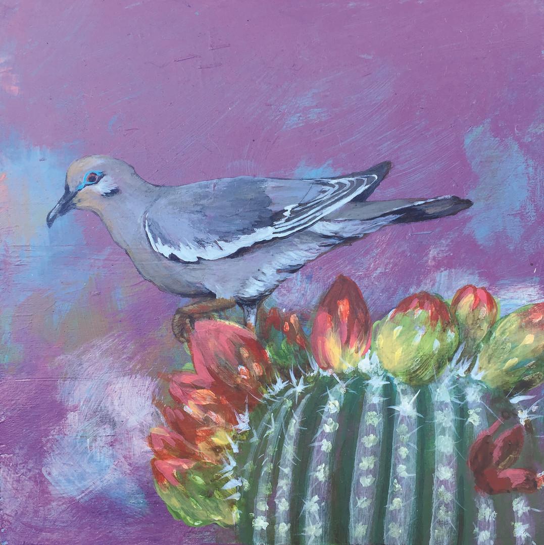 White-winged Dove- Judith Dauncey