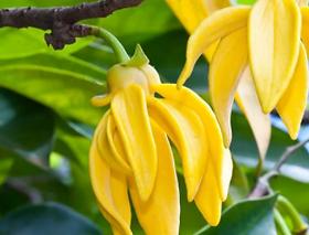Ylang plant.png