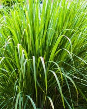 Lemongrass plant.png