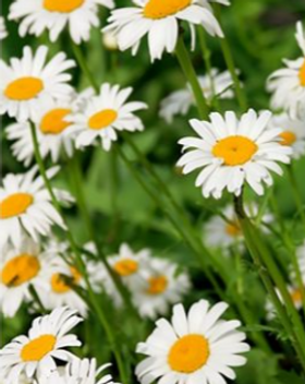 Chamomile plant.png