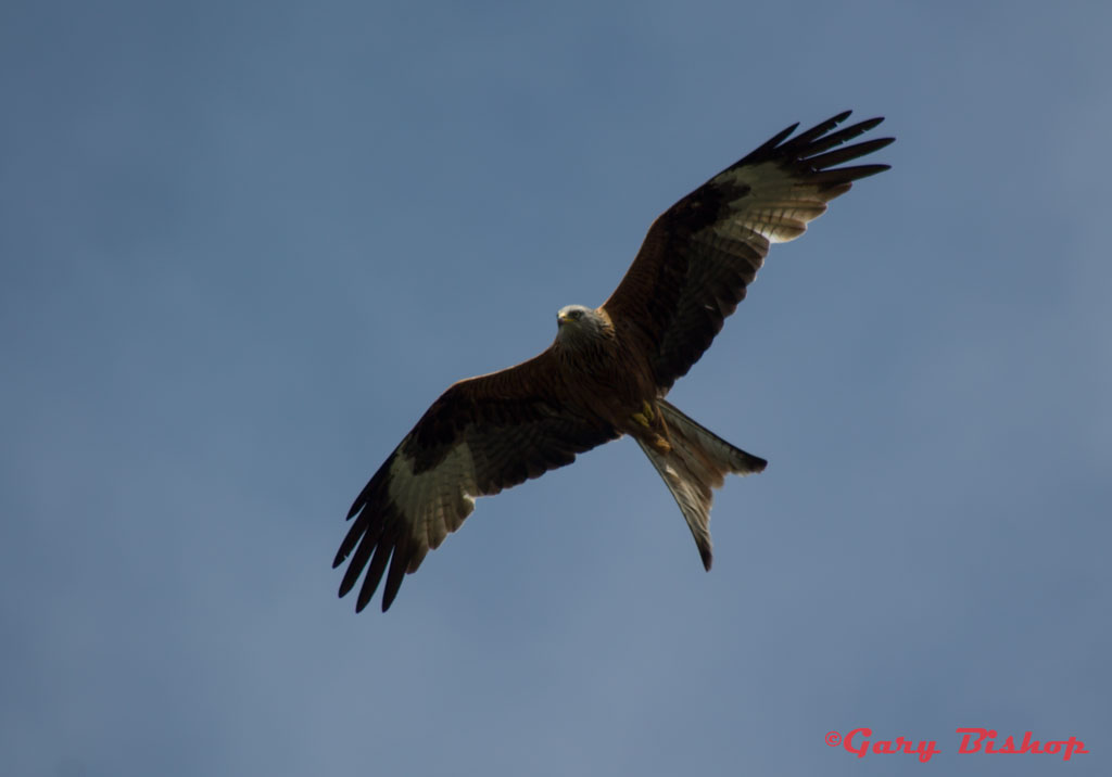 Red Kites Photos   thewalkofmylife co uk Home Page