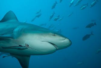 Fascinating Bull Sharks.jpg