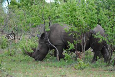 Rhinos on your Safari.JPG