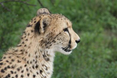 Impressive Cheetahs.JPG