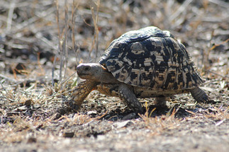 pay attention to leopard tortoises.JPG