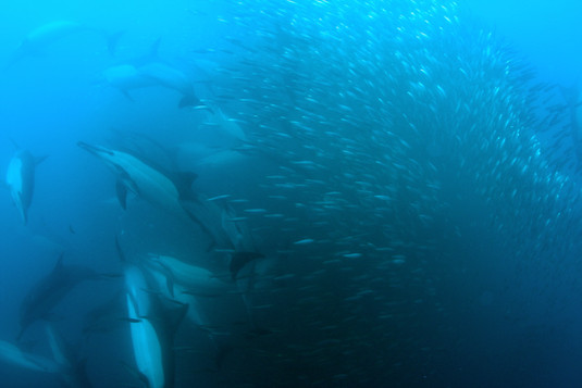 Common Dolphins in Bait Ball